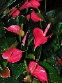 Anthurium Tricolor Flower Plant