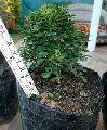 Kamini Mini Bonsai Plant