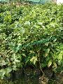Litchi Seedless Plant