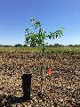 Hybrid Almond Plant