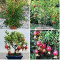 Hybrid Pomegranate Plant