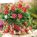 Hybrid Strawberry Plant