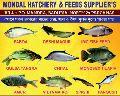 Singhi Fish Seed