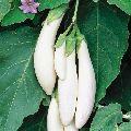 Fresh White Brinjal
