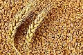 Raw Wheat Seeds