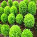 Kochia Bushy plant
