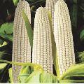 Hybrid White Maize – 8000