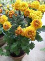 Chrysanthemum Orange Plant