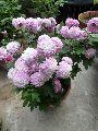 Chrysanthemum Purple Plant
