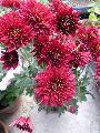 Chrysanthemum Red Plant