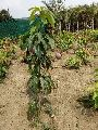 Palmar Mango Plant