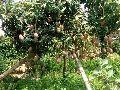 Red Mango Plant