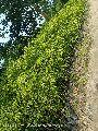Agarwood Big Plants