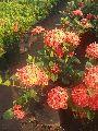Dwarf Ixora Plant