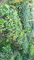 Litchi Brewster fruit Plant