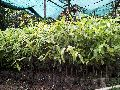 Agarwood Small Plant