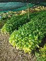 Coffee Rubosta Plant's