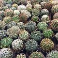 Golden Cactus Plant's