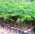 Gulmohar Plants