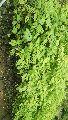 Star Gooseberry Plant's