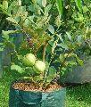 Thailand Guava Plant's