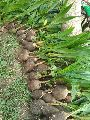 Tipture Coconut Plants