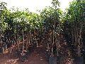 Desari Mango Grafted Plant