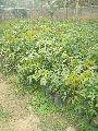 Rubber RRIM-105 Plant