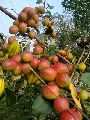 Red Sundari Apple Ber Plants