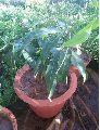 Baramasi Mango Plant