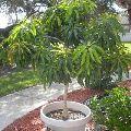 Mango Baby Plant