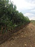 Jamadar Mango Plant