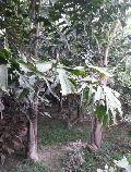 Fishtail Palm Plant