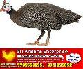 sri krishna poultry farm Gini chicks supply