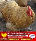 vanaraja chicks supply SRI KRISHNA POULTRY FARM AND BREEDING CHICKEN HATCHERY