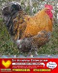 vanaraja high breed chicks supply