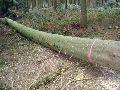 BW-003 Beech Wood