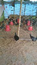 ASSEL LIVE BIRDS