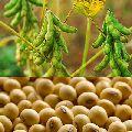 Oil Seed