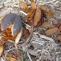 Swietenia Mahagoni Seeds