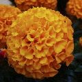 African Marigold F2 Dwarf Orange Flower Seed
