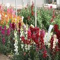 Antirrhinum dog flower semi tall mix seeds