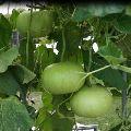 Bottle gourd round seeds