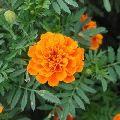 French Marigold orange seeds
