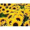 Pan American Sunflower Helianthus Annuus seeds