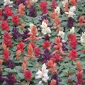 Salvia Splendens F1 Flower Seed
