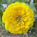 Zinnia Canary Bird Yellow seeds
