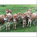 Holstein Heifer Cow