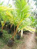 Coconut Hybrid Plants