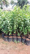 Guava Vnr Plant